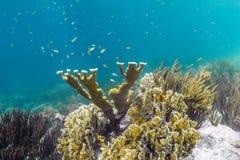 Korallenrotes Acropora Elkhorn palmata Lizenzfreie Stockbilder