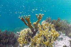 Korallenrotes Acropora Elkhorn palmata Lizenzfreie Stockfotografie