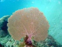 Korallenrotes Gebläse Stockfoto