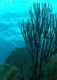 Korallenrotes Gebläse Lizenzfreies Stockfoto