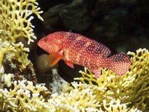 Korallenrotes Hinter mit Feuerkoralle Lizenzfreie Stockfotografie