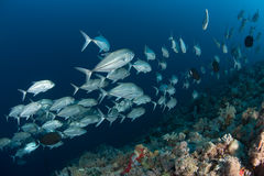 Korallenrotes Leben tauchender Sudan Sudan Lizenzfreies Stockfoto