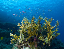 Korallenrotes Zutageliegen Stockfoto