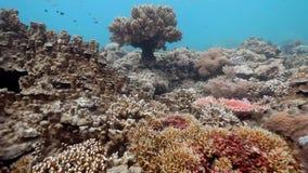 Korallenrotes Zutageliegen in Layang-layanginsel stock footage