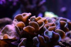 Koraller Royaltyfri Fotografi
