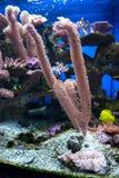 Koraller Arkivbild