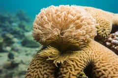 koraller Royaltyfria Foton