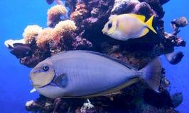 koraller fiskar tropiskt Fotografering för Bildbyråer