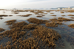 Koraller i grunt vatten under låg tide Royaltyfria Foton