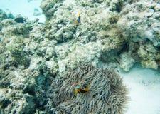 Koraller och fiskmångfald i grund rev Arkivfoto
