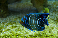 korallfisk royaltyfria foton