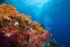 korallfisk Arkivbild