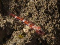 Korallfisk Triplefin Royaltyfria Foton