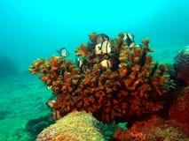 korallfiskar Arkivbild