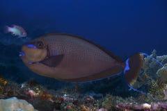 KorallfiskBignose unicornfish Arkivfoton