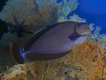 KorallfiskBignose unicornfish Arkivfoto