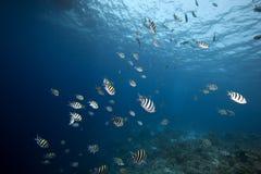 korallfiskhav Arkivbilder