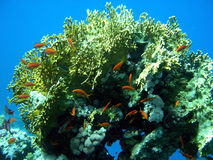 korallfiskorange Arkivfoton