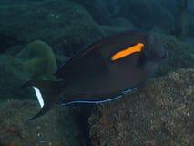 KorallfiskOrangespot surgeonfish Arkivfoton