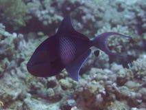 KorallfiskRedtooth triggerfish Fotografering för Bildbyråer