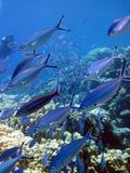korallfiskrev Royaltyfria Bilder