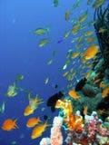 korallfiskrev Arkivfoton