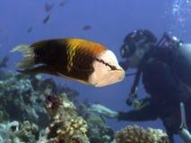 KorallfiskSingjaw wrasse Fotografering för Bildbyråer
