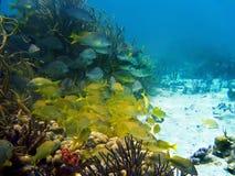 korallfiskskola fotografering för bildbyråer