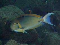 KorallfiskSvart-fläck surgeonfish Royaltyfri Fotografi