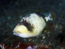 KorallfiskYellowmargin triggerfish Royaltyfria Foton