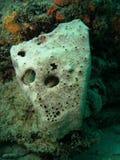 korallframsida Royaltyfri Foto