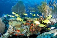 korallfransmangrymtning arkivfoto