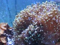 korallfrogspawn arkivbild