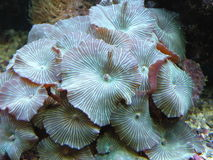 korallgreenrev Arkivbilder