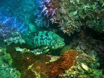 korallhavsaborre arkivbilder