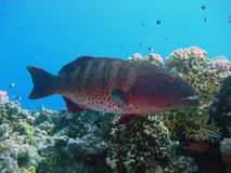 korallhavsaborre Arkivbild