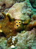 korallhundframsida Arkivbilder