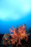 korallindonesia reefscape slappa sulawesi Royaltyfri Fotografi