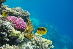 Korallkoloni Royaltyfri Bild