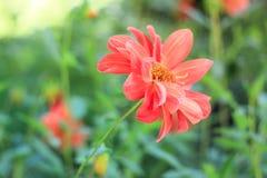Korallkrysantemum Royaltyfri Foto