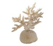 koralllampa Arkivfoton