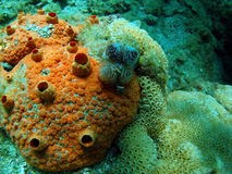 korallorange Royaltyfri Foto