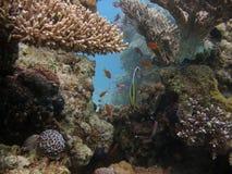 korallplats Arkivbild