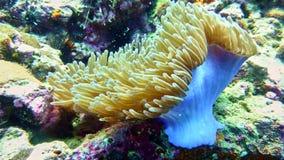 Korallpolyp i Röda havet Arkivfoton