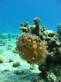 korallpolyps Royaltyfri Bild