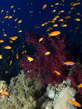 korallred Arkivfoton
