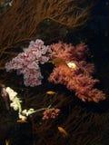korallred arkivbild