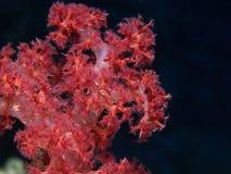 korallred arkivbilder