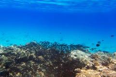 Korallrev av Röda havet med tropiska fiskar Arkivbilder