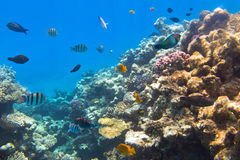 Korallrev av Röda havet med tropiska fiskar Arkivfoton